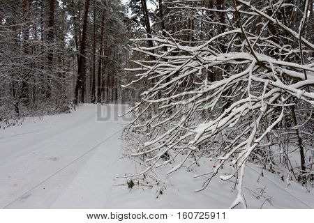 On The Black Branches Of The Tree Lies A Thick Layer Of Snow (lots). The Photo Was Taken In Winter.