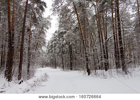 On the black branches of the tree lies a thick layer of snow (lots). The photo was taken in winter. In the distance see a lone figure. The background is blurred.