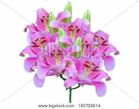 beautiful pink lily, isolated on white background