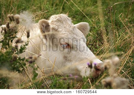 Resting white cow, close up of head, seen through tall grasses and thistles