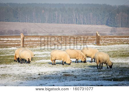 Farm animals - Flock of sheep in winter