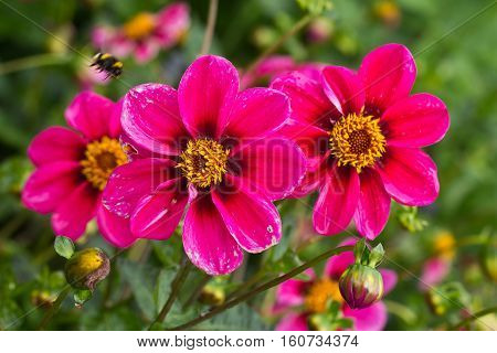 Garden / Dahlia - a very beautiful autumn colors