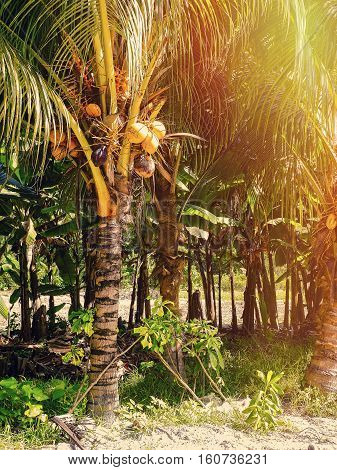 Tropical Seychelles. Seychelles coconut  on the island of La Digue