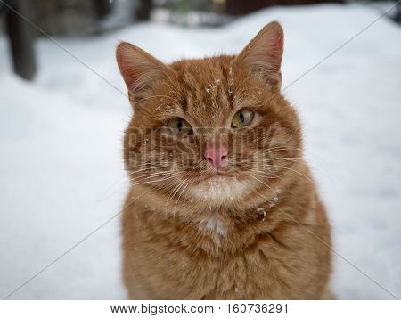 Portrait of a red cat frozen street. Cat in the snow against the backdrop of snowflakes. The concept of the problem of stray animals