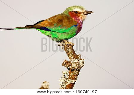 Roller on the tree. SweetWaters. Birds. Kenya, Africa