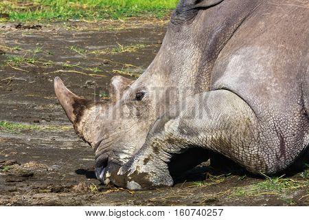 Do not touch the rhino - he sleeps. Nakuru, Kenya