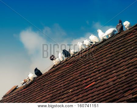 Breeding pigeons stand on the top of a roof.