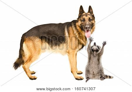 German Shepherd dog and a curious raccoon, isolated on white background