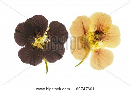 Pressed and dried delicate orange and brown flowers nasturtium (tropaeolum). Isolated on white background. For use in scrapbooking floristry (oshibana) or herbarium.