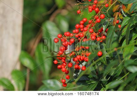 nandina domestica commonly known as nandina heavenly bamboo or sacred bamboospecies of flowering plant in the family Berberidaceae native to eastern Asia from the Himalayas to Japan. It is the only member of the monotypic genus Nandina.