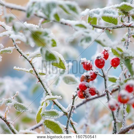 Covered by snow red brier berries close up.