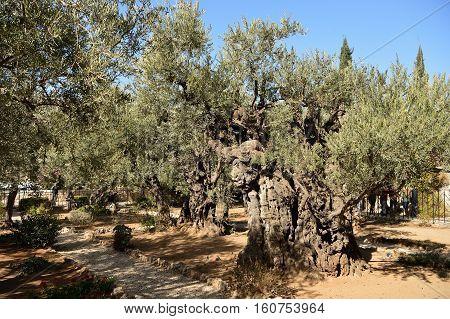Olive Trees In The Garden Of Gethsemane, Jerusalem, Israel