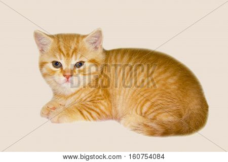 Red kitten on a pink background. Tiger Sunny little kitten. Cat of the British breed. Look soft kitty.