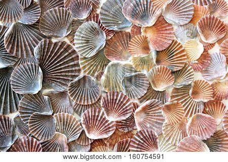 Sea Shell Background 1
