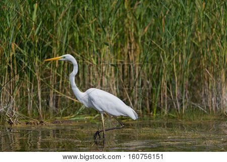 Great white egret (egret alba) during hunt wading through the water