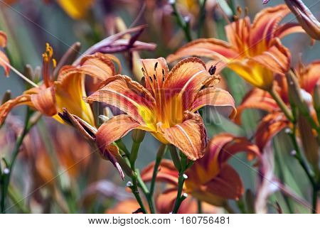 Close-up color image of colorful wild lilies in full bloom.
