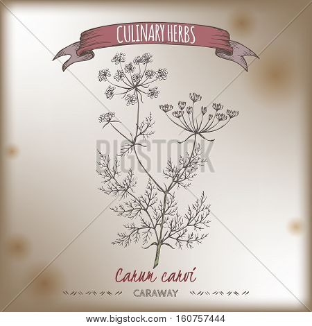 Caraway aka Persian cumin, Carum carvi, hand drawn color sketch on grunge background. Culinary herbs collection. Great for cooking, medical, gardening design