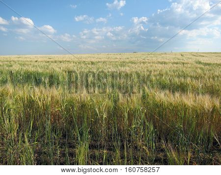This is a field with grain-crops in Russia which seems to be endless.