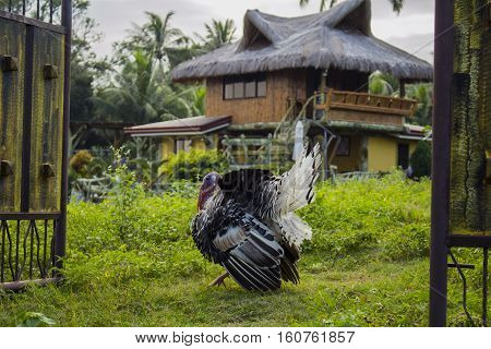 Turkey in garden. Fat turkey on green grass in front of traditional house in Philippines. Thanksgiving turkey alive. House bird by the gates. Funny turkey in the yard. Rural life in tropical village