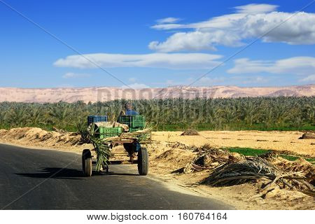 Egypt - Dec 29 2008: Egyptian peasant rides in a cart on the road along banana plantation. Agriculture is one of the most important sectors of Egypt's economy