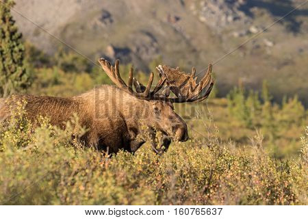 a big alaska yukon bull moose in Denali national park Alaska