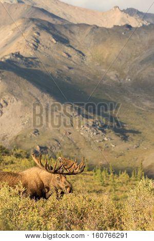 a big alaska yukon bull moose in Denali national park Alaska