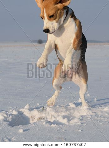 Dog Beagle on a walk in a snowy field digging a hole in the snow