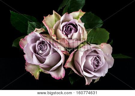 Close-up of pastel rose flowers. Photography of nature.