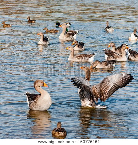 Flock of greylag geese bathing in the cold morning sun in UK