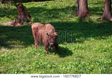 Calf Of Bison In Bialowieza National Park In Poland