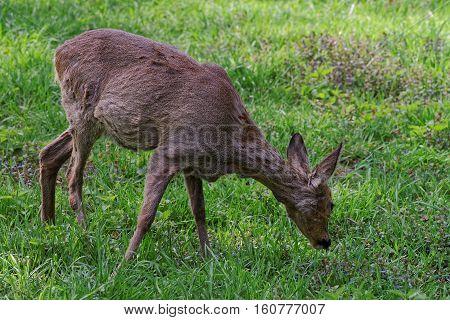 Doe Deer In Bialowieza National Park In Poland