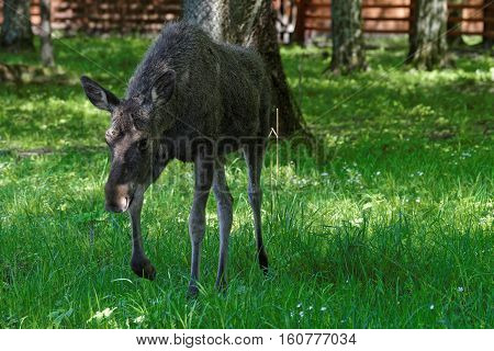 Elk At Bialowieza National Park In Poland
