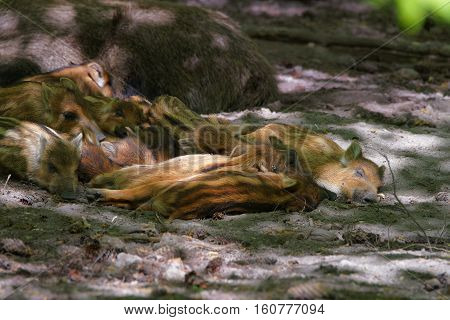 Family Of Wild Boars At Bialowieza National Park In Poland