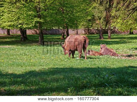 Herd Of Bisons With Calf At Bialowieza National Park