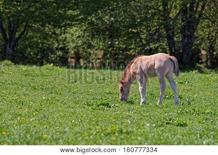 Horse Colt At Bialowieza National Park In Poland