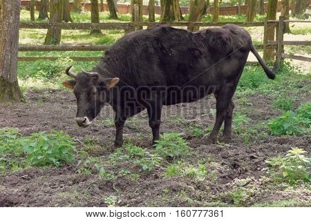 Hybrid Of Cow And Bison At Bialowieza National Park