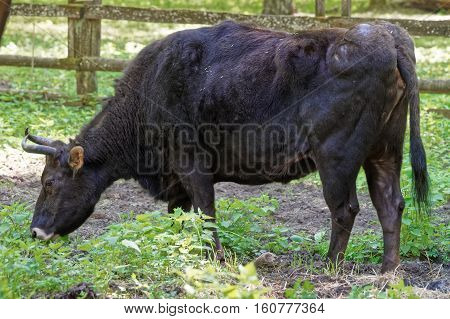 Hybrid Of Cow And Bison In Bialowieza National Park