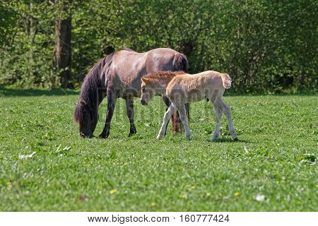 Mare And Colt In Bialowieza National Park In Poland