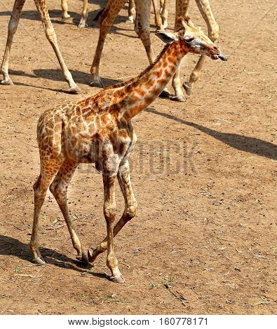 Beautiful animal giraffes in Thailand photographed close-up