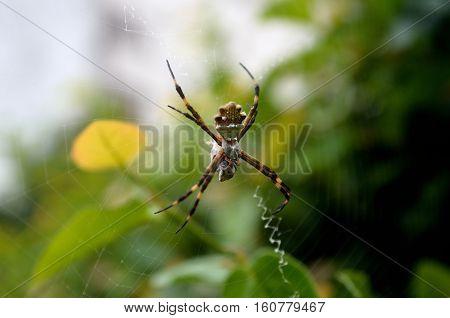 Araña majestuosa en su telaraña con jardin de fondo