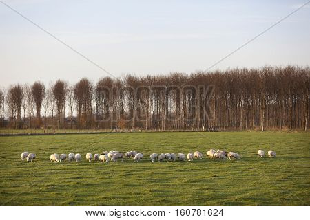 sheep in meadow of polder purmer near purmerend north of amsterdam in the netherlands
