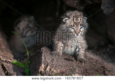 Bobcat Kitten (Lynx rufus) Peers Out Into Sun - captive animals