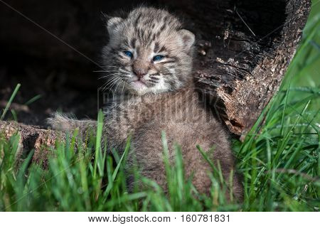 Bobcat Kitten (Lynx rufus) Looks Back From Log - captive animal