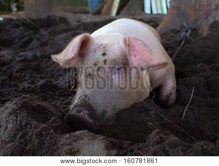 Pink pig with dirty snout digs the ground. Resting piglet on farm backyard. Village scene with funny pig. Big domestic animal. Cute pig portrait. Swine head close photo. Rural countryside mammal image