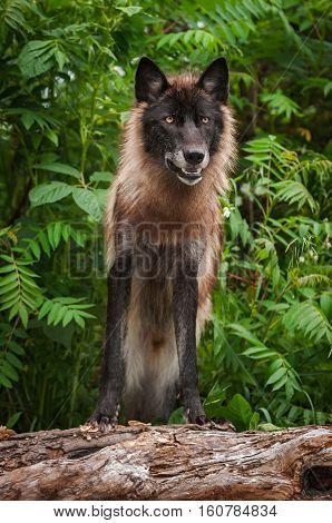 Black Grey Wolf (Canis lupus) on Log - captive animal