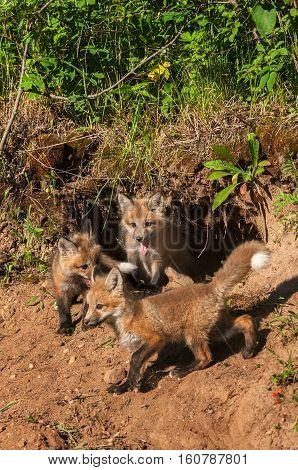 Red Fox Kits (Vulpes vulpes) Gather at Den - captive animals