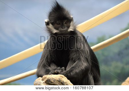 A Francois Langur Monkey sitting on a rope