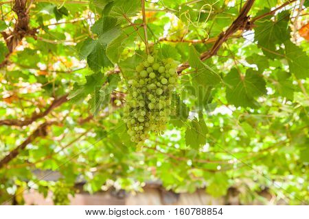 View of white grapes pergola in the spanish countryside