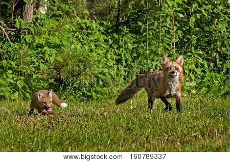 Red Fox Kit (Vulpes vulpes) Follows Mother Out of Woods - captive animals