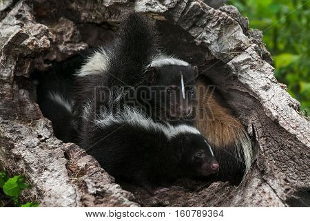 Mother Striped Skunk (Mephitis mephitis) and Kit in Log - captive animals